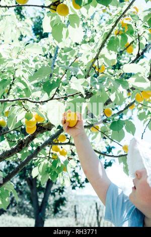 Girl picking plum - Stock Image