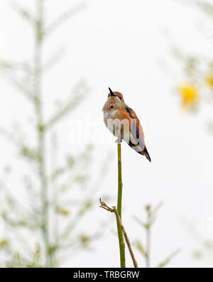 Allen's Hummingbird Female perched - Stock Image