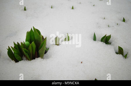 Tulips, spring flowers sprout from under the snow - Stock Image