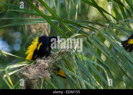 Male Yellow Rumped Cacique, Cacicus cela, displaying his feathers in order to attract females, Pantanal, Mato Grosso, - Stock Image