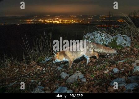 Red fox (Vulpes vulpes) at night camera trap image, Jura Mountains, Switzerland, August. - Stock Image