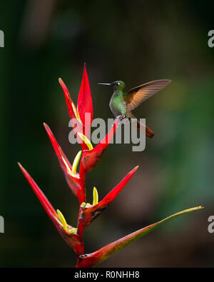 A Brazilian Ruby perched on a Heliconia glower - Stock Image