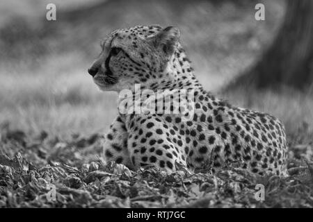 a stunning male leopard - Stock Image