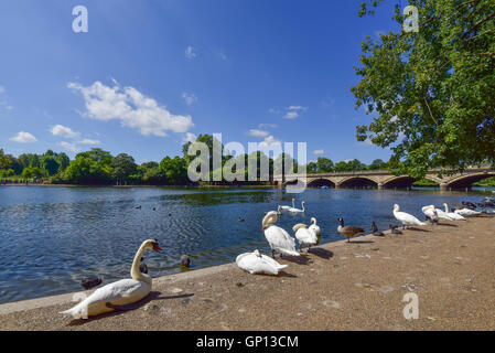 Swans on the bank of the river - Stock Image