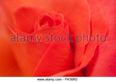 Beautiful closeup of a pink rose - Stock Image