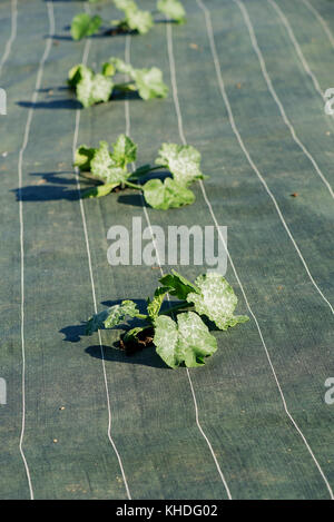 Crops growing through protective fabric - Stock Image