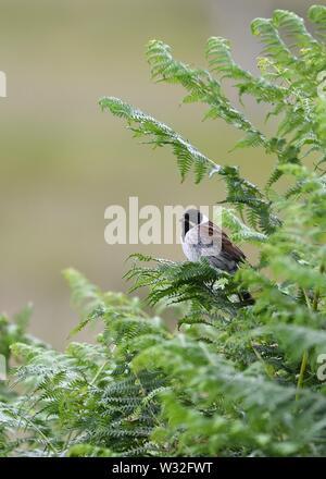 The passerine, Common Reed Bunting, Emberiza Schoeniclus in Scotland, UK, Europe - Stock Image