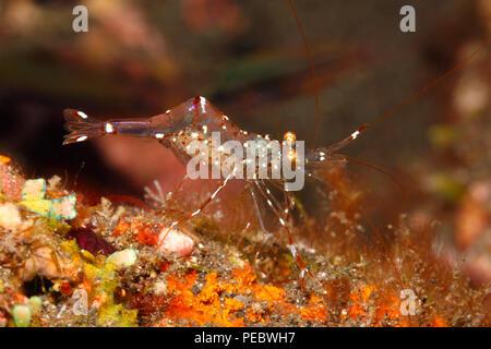 Spotted Cleaner Shrimp, Urocaridella antonbruunii. Also called Glass Cleaner Shrimp and Clear Cleaner Shrimp. Female shrimp carrying eggs. - Stock Image