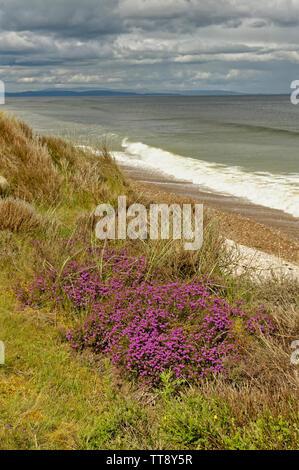 FINDHORN MORAY COAST SCOTLAND PURPLE HEATHER ERICA CINEREA GROWING ON SAND DUNES NEAR THE SEA - Stock Image