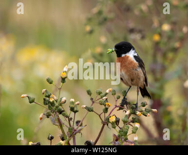 A male Stonechat (Saxicola rubicola) with a juicy caterpillar for it's young, Pembrokeshire, Wales - Stock Image