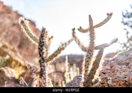 Closeup of Cane Cholla cactus with sun in Main Loop trail in Bandelier National Monument in New Mexico in Los Alamos - Stock Image