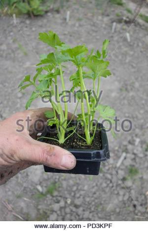 Apium Grav. Var. Rapaceum - celeriac plugs ready for planting. - Stock Image
