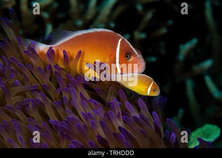 Pink Anemonefish, Amphiprion perideraion, Tufi, Solomon Sea, Papua New Guinea - Stock Image