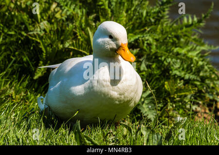 White duck at Chartwell, Kent, UK - Stock Image