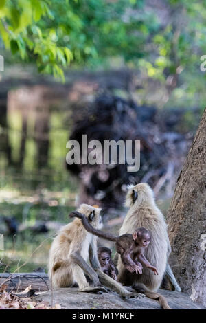 Family of wild Gray Langurs or Hanuman Langur Monkeys, Semnopithecus, parents and two babies, playing, jumping, - Stock Image
