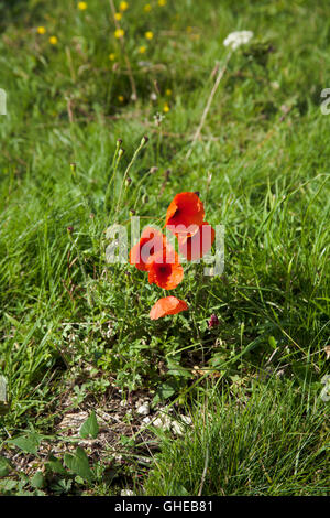 Poppies growing on the fringe of an arable field of crops near Kings Lynn Norfolk England - Stock Image