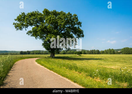 A majestic oak tree by an English country lane set in a lush, green landscape on a sunny, summer afternoon in Buckinghamshire, - Stock Image