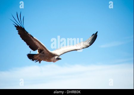 bird of prey soaring - Stock Image