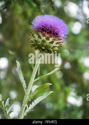 Globe artichoke flower (Cynara cardunculus var. scolymus) growing in British Columbia, Canada - Stock Image