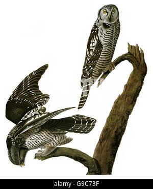 Northern Hawk Owl, Surnia ulula, birds, 1827 - 1838 - Stock Image