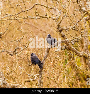 Two Jackdaws Corvus monedula members of the crow family sitting in a tree in winter time - Stock Image