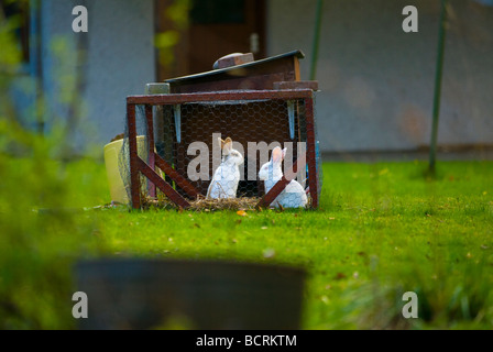 image of two white pet rabbits in hutch - Stock Image