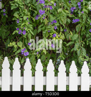 Purple flowers and picket fence in historic Port Fairy, Victoria, Australia - Stock Image