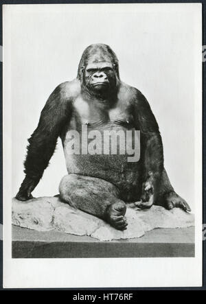 A postcard printed in Germany, shows the gorilla 'Bobby', a scarecrow from the Zoological Museum (Museum - Stock Image