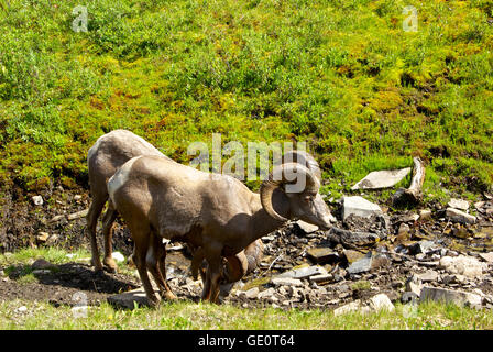 Big horn sheep rams Kananaskis Provincial Park Alberta Canada - Stock Image