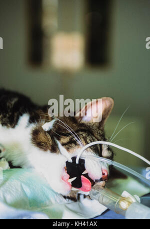 Domestic cat,(Felis silvestris catus or Felis catus), under anaesthetic before operation, Blue Cross Animal Hospital, - Stock Image
