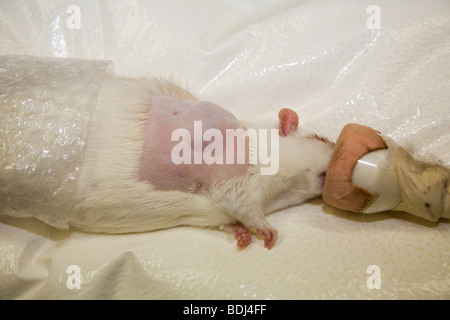 Anaesthetised Rat Prepared for Removal of a Tumour - Stock Image