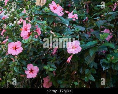 Pink Hibiscus. Málaga, Spain. - Stock Image
