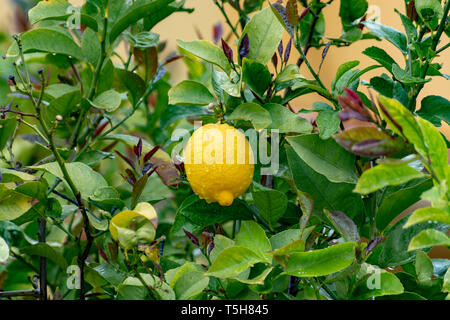 Ripe yellow lemon, tropical citrus fruit hanging on tree with water drops in rain close up - Stock Image