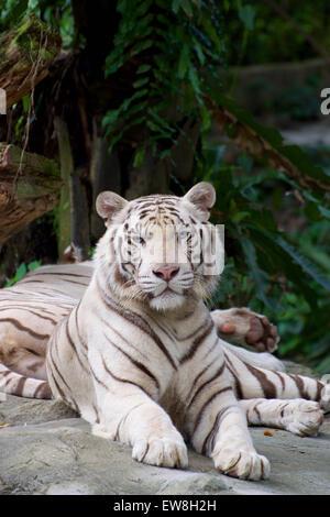 White tiger singapore zoo - Stock Image