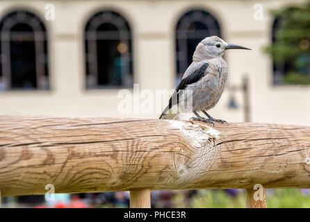 Clark's Nutcracker, A Bird Close-Up - Stock Image