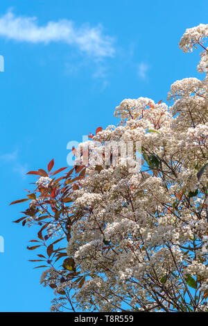 Photinia  fraseri Red Robin, Christmas berry Red Robin. Creamy white flower heads in springtime. - Stock Image