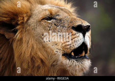 Male Lion Calling for His Pride, Portrait. Balule Nature Reserve, Kruger Park, South Africa - Stock Image