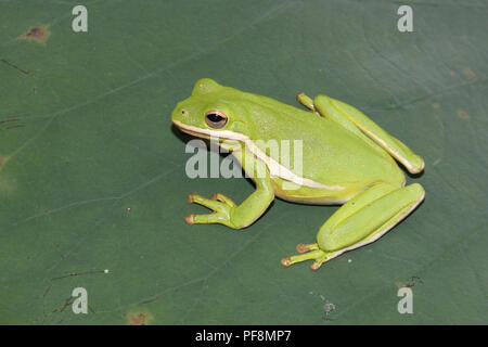 A green treefrog on a lotus leaf in Limestone County, Alabama, USA. - Stock Image