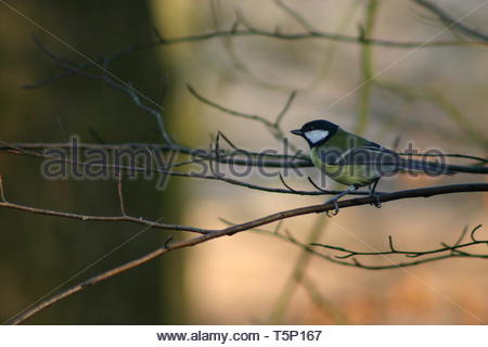 Great Tit (Parus major) perched on a branch with a blurred background - Stock Image