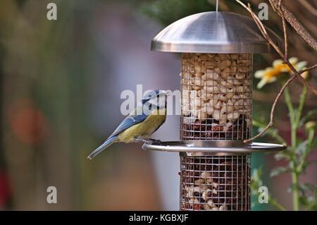 Eurasian blue tit (Cyanistes caeruleus) sitting on bird feeder filled with peanuts and raisins - Stock Image