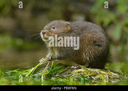 Water vole (Arvicola amphibius) Kent, UK September - Stock Image