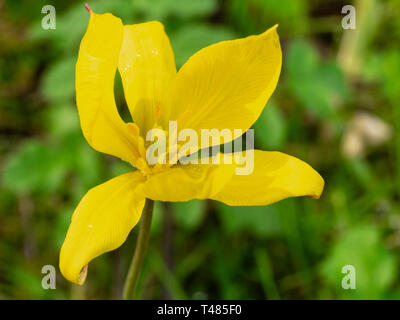 Wind blown yellow flower of the spring blooming hardy bulb, Tulipa sylvestris - Stock Image