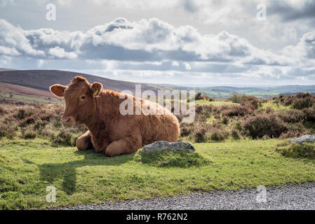 Cow on roadside, Dartmoor National Park - Stock Image