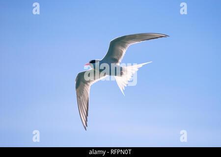 South American Tern (Sterna hirundinacea) in SE Brazil - Stock Image