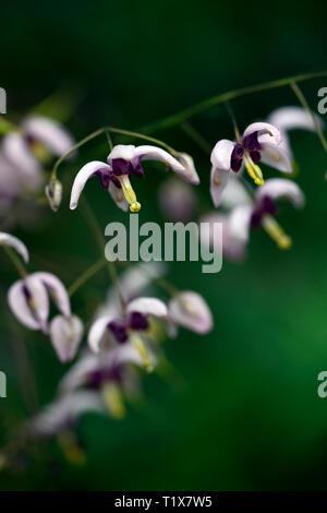 Epimedium Domaine de Saint Jean de Beauregard,flowers,woodland,perennials,barrenwort,shade,spring,shady,shaded,RM Floral - Stock Image