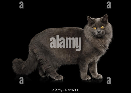 Gray Cat Standing full length and Looking in Camera on Isolated Black Background, side view - Stock Image