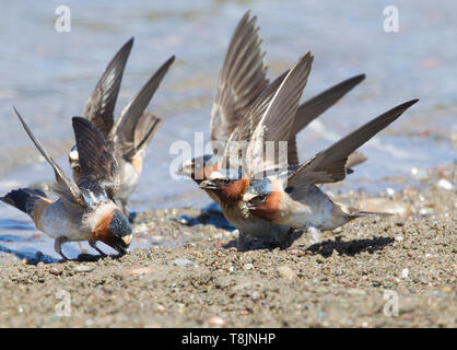 American Cliff Swallows Gathering Mud - Stock Image
