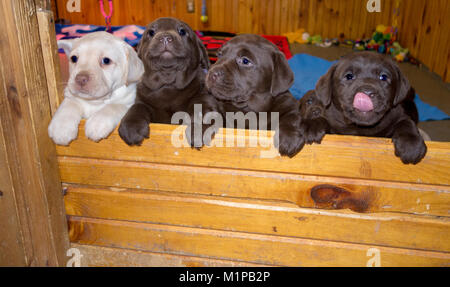 Four cute Labrador puppies looking over a wall one licking his face - Stock Image
