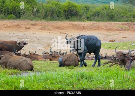 Buffaloes, Buffalo covered in wet mud, Kazinga Channel, Uganda, East Africa - Stock Image