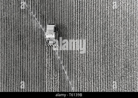 Cotton harvest combine tractor driving on cotton field riping grown cotton raw material in aerial overhead view - black white to contrast white cotton - Stock Image
